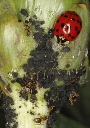Beneficial Insect: Ladybug – Vermont Organic Farm   Cedar