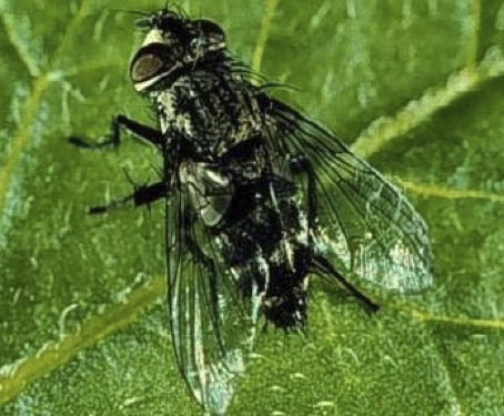 Beneficial Insect Tachinid Fly Vermont Organic Farm